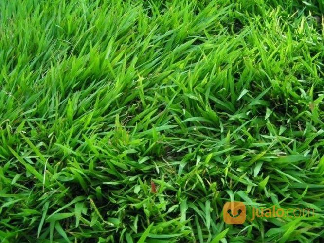 Rumput Jepang taman