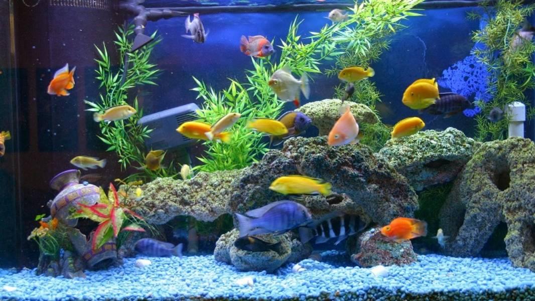 Ikan hias di akuarium